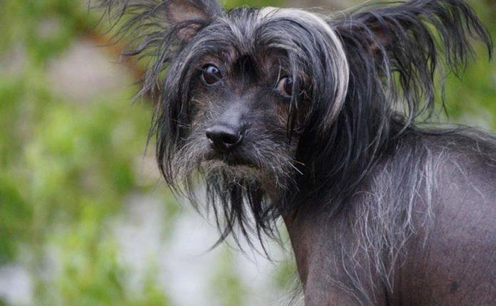 ТОП-5 порід собак, які не линяють і не пахнуть - today.ua