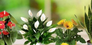 Топ-3 кімнатних рослин, які залучають в житло любов і сімейне щастя - today.ua