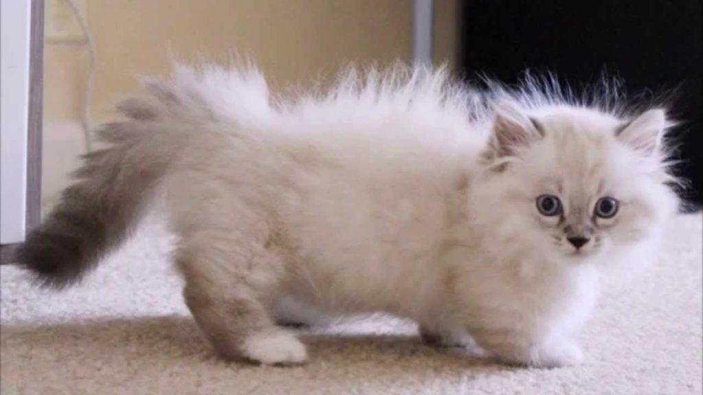 ТОП-3 породи котів, які навіть у дорослому віці виглядають як кошенята