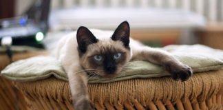 ТОП-5 порід кішок, які приносять удачу і щастя в особистому житті - today.ua