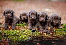 ТОП-5 порід собак, які народжують найбільше цуценят - today.ua