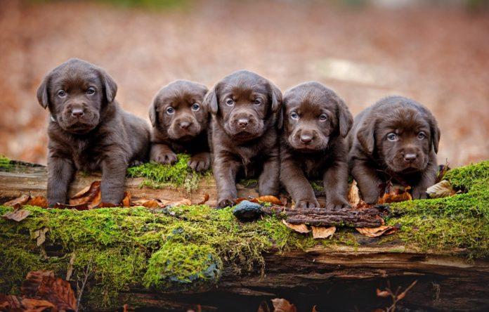 ТОП-5 пород собак, которые рожают больше всего щенков - today.ua