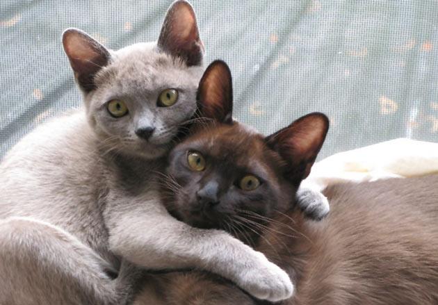 Какие самые лучшие породы кошек для детей