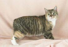 ТОП-3 породи котів без хвостів - today.ua