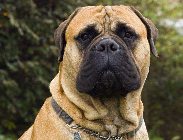 ТОП-3 породы собак, которые идеально подходят для мужчин
