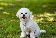 ТОП-5 порід собак, які не викликають алергію - today.ua