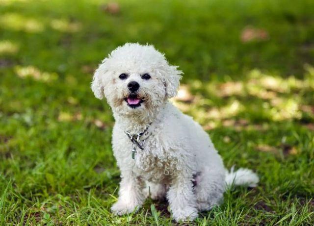 ТОП-3 породи собак, які дружать з котами