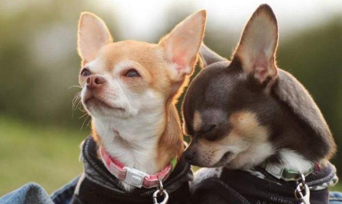 ТОП-5 порід собак, які за милою зовнішністю приховують агресію - today.ua