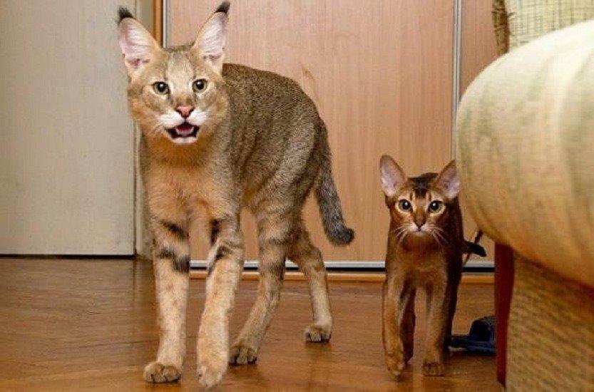 ТОП-5 самых крупных гигантских кошек, которые превосходят даже собак (Фото)