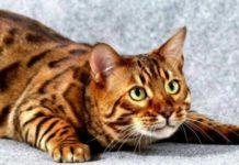 ТОП-5 найпопулярніших порід кішок, які з'явилися нещодавно - today.ua