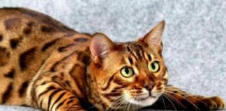 """ТОП-5 найпопулярніших порід кішок, які з'явилися нещодавно """" - today.ua"""