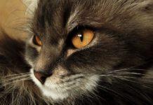 ТОП-5 найбільших порід кішок: рейтинг хвостатих гігантів - today.ua