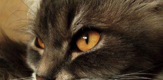 """ТОП-5 найбільших порід кішок: рейтинг хвостатих гігантів"""" - today.ua"""