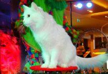 Каких кошек можно дрессировать: 5 пород, которые легко обучаются командам и трюкам - today.ua