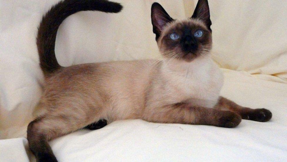 ТОП 5 пород кошек, которые легко дрессировать