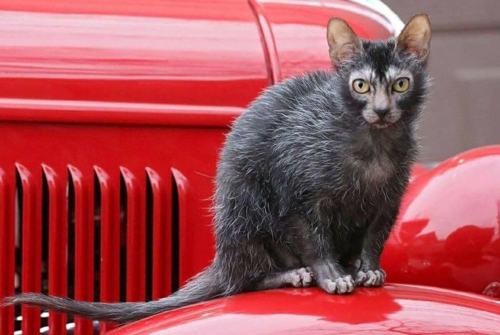 ТОП-5 найпопулярніших порід кішок, які з'явилися нещодавно