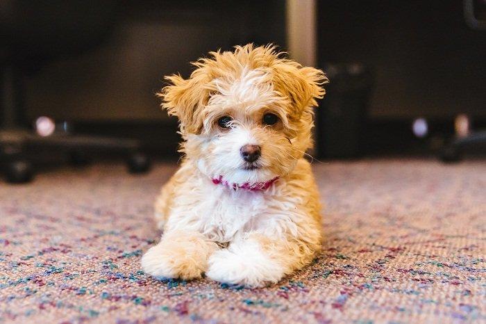 ТОП-5 новых пород собак, которые появились совсем недавно