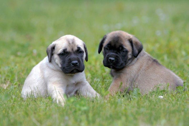 ТОП-5 пород собак, которые рожают больше всего щенков