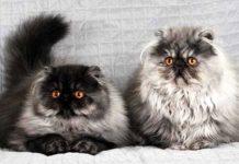 Примхливі і хворобливі: ТОП-3 породи незвичайних кішок - today.ua