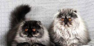 """Примхливі і хворобливі: ТОП-3 породи незвичайних кішок """" - today.ua"""