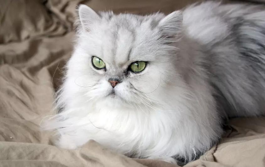 Сильные аллергики: ТОП-3 породы кошек, которые могут быть опасными для здоровья