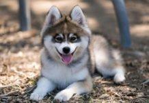 ТОП-5 новых пород собак, которые появились совсем недавно - today.ua
