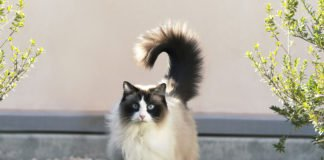 """Мовчазні і невибагливі: ТОП-3 унікальні породи кішок """" - today.ua"""