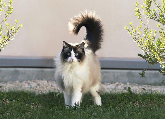 Молчаливые и неприхотливые: ТОП-3 уникальные породы кошек - today.ua