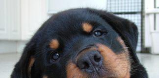 ТОП-3 породи собак, які живуть менше 9 років - today.ua