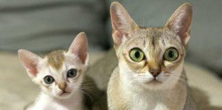 """ТОП-3 породи котів, які навіть у дорослому віці виглядають як кошенята """" - today.ua"""