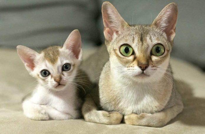 ТОП-3 породы котов, которые даже во взрослом возрасте выглядят как котята - today.ua