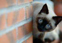 Котики не такі й прості: ТОП-5 найагресивніших і найбільш мстивих порід - today.ua