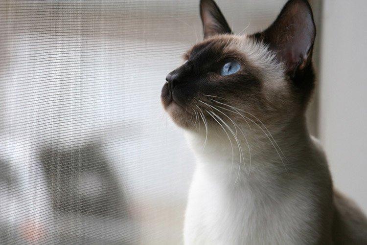 Примхливі і хворобливі: ТОП-3 породи незвичайних кішок