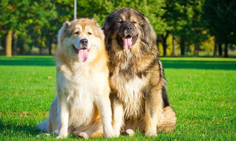 ТОП-5 сторожових порід собак, які можуть напасти навіть на господаря