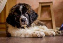 ТОП-5 сторожевых пород собак, которые могут напасть даже на хозяина - today.ua