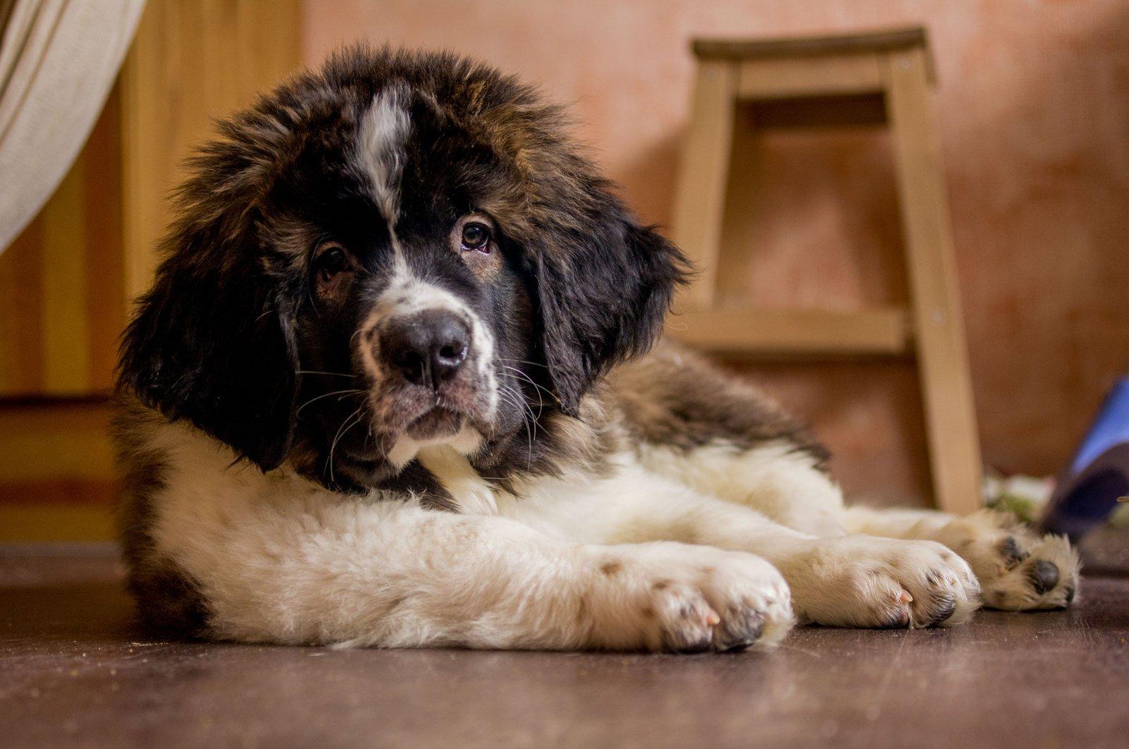 ТОП-5 сторожових порід собак, які можуть напасти навіть на господаря - today.ua