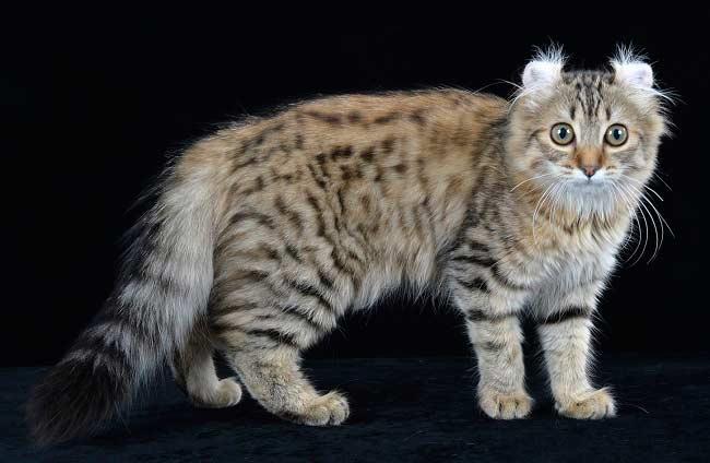 ТОП-3 найбільш незвичайних породи котів