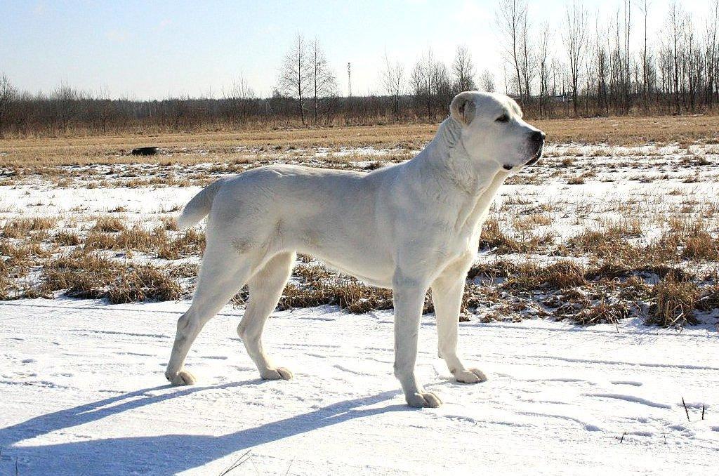 ТОП-3 найкращих порід собак-охоронців для приватного будинку
