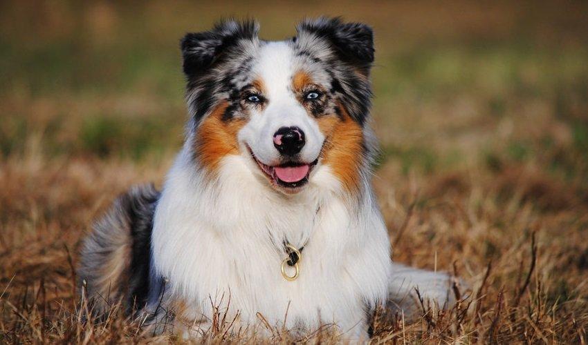 Завжди поруч: ТОП-3 породи собак, які не мають звички тікати від господарів
