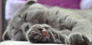 """Сплять цілими днями: ТОП-3 найбільш ледачих породи кішок"""" - today.ua"""