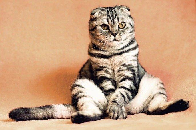ТОП-3 найкумедніших порід котів