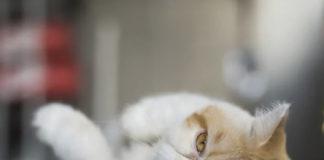 """ТОП-5 порід кішок, які люблять обніматися """" - today.ua"""