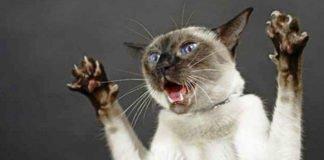 """Несуть загрозу для життя: ТОП-3 породи кішок, які можуть бути небезпечними для людини """" - today.ua"""