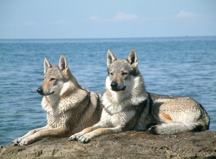 Топ-7 порід собак, які всім подобаються, але мало хто наважується завести їх у своєму домі