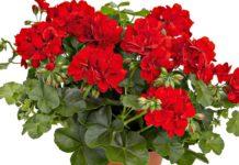 Кімнатні квіти для справжнього щастя: Топ-3 найкращі рослини для дому - today.ua