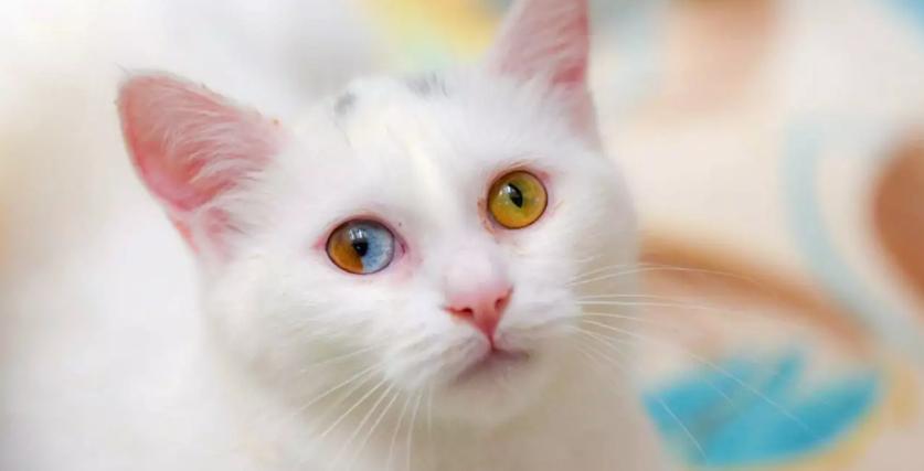 Унікальне явище: ТОП-3 породи кішок з різнокольоровими очима