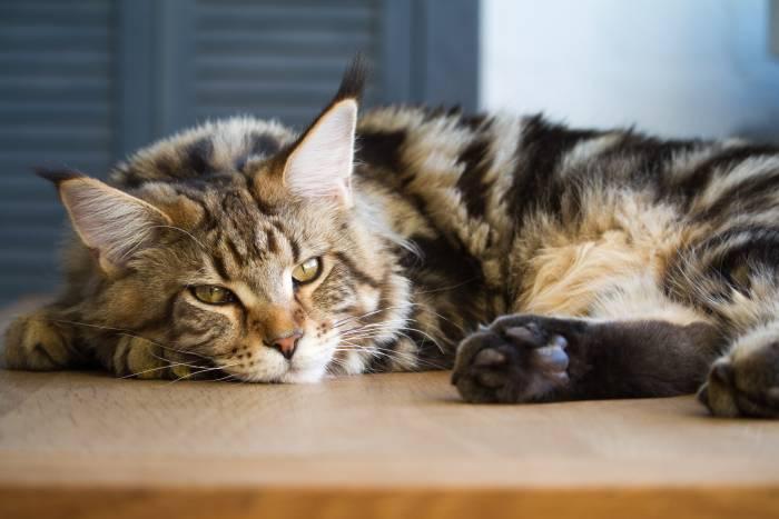 ТОП-3 породы котов, которые притягивают в дом деньги