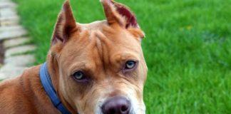 """Потенційно небезпечні: опубліковано рейтинг заборонених в Україні порід собак """" - today.ua"""