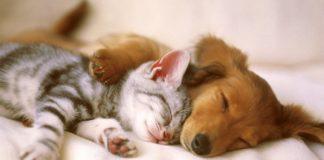 """ТОП-3 породи кішок, які дружать з собаками"""" - today.ua"""