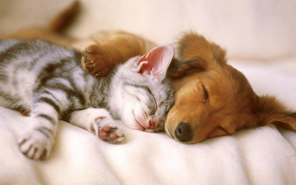 ТОП-3 породи кішок, які дружать з собаками - today.ua